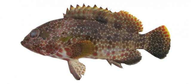 Epinephelus hexagonatus