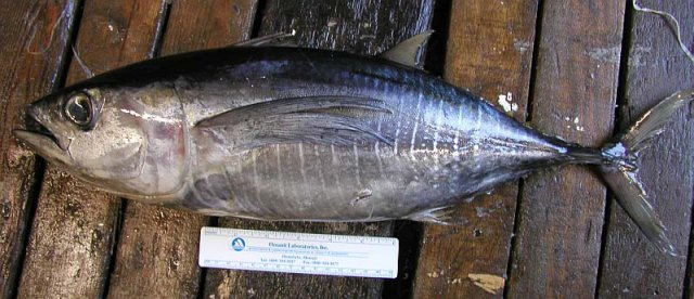 ~45 cm FL *Thunnus albacares*. Less than fresh condition.