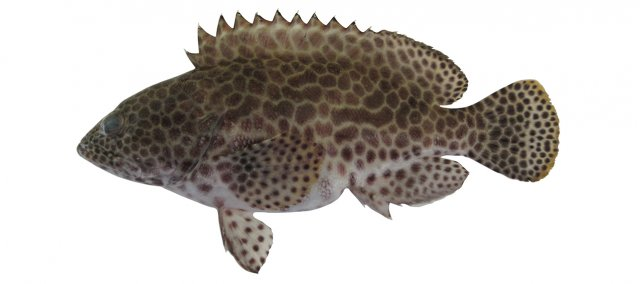 Epinephelus merra feature