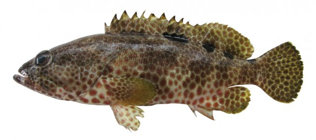 Epinephelus spilotoceps feature