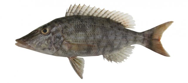 Lethrinus olivaceous
